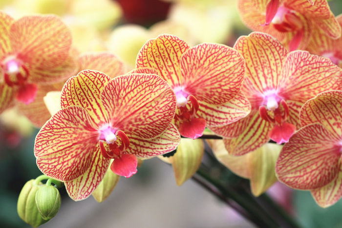 Orchids Are The Largest Family Of Blooming Flowers With Over 25 000 Species And 100 Varieties They Often Grown As Houseplants