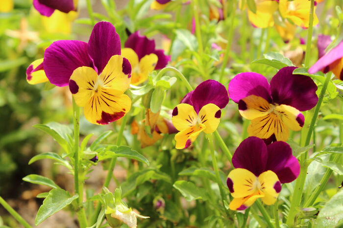 pansy flower meaning  flower meaning, Natural flower