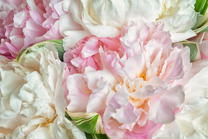 Fresh Bright Blooming Peonies Flowers With Dew Drops On Petals