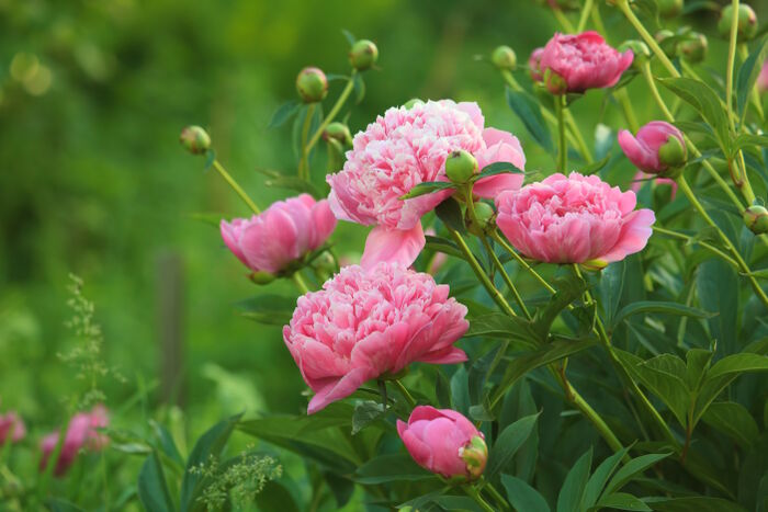 Peony flower meaning flower meaning for Plante japonaise