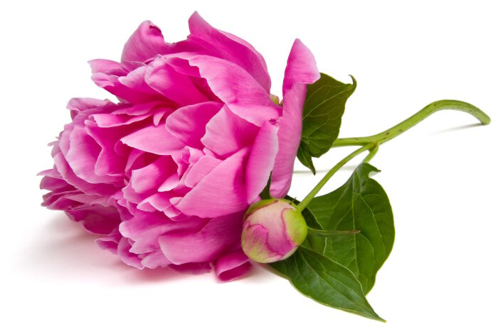Peony Flower Meaning Flower Meaning