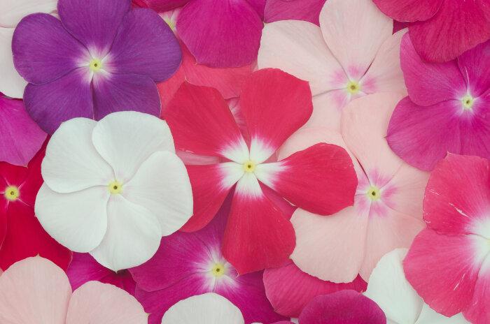 Periwinkle flower meaning flower meaning periwinkle flower mightylinksfo