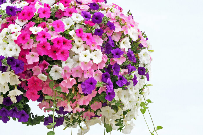 petunia flower meaning  flower meaning, Natural flower