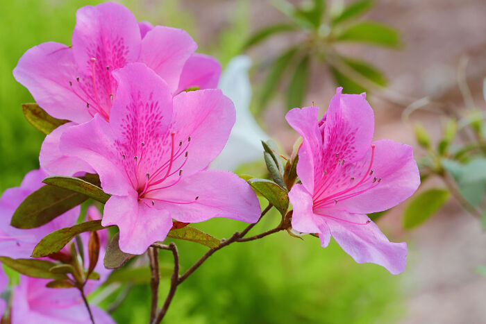 Pink flowers meaning flower meaning azalea mightylinksfo
