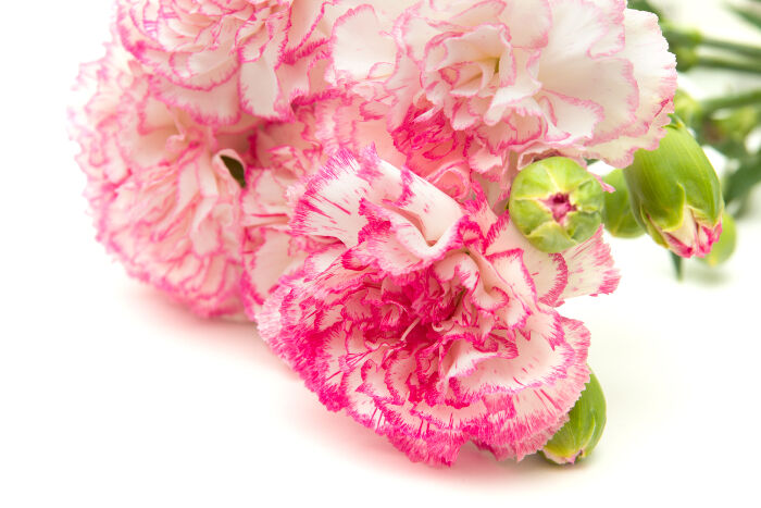 Pink flowers meaning flower meaning carnation mightylinksfo
