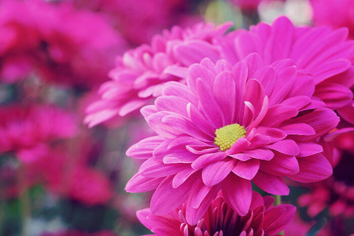 Pink flowers meaning flower meaning chrysanthemum mightylinksfo