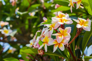 Plumeria or frangipani blossom on the plumeria tree nature background.