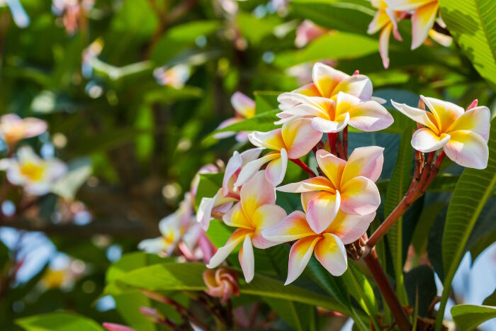 plumeria flower meaning  flower meaning, Natural flower