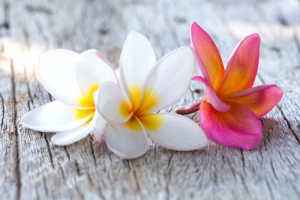 close up of beautiful plumeria flower on wooden background
