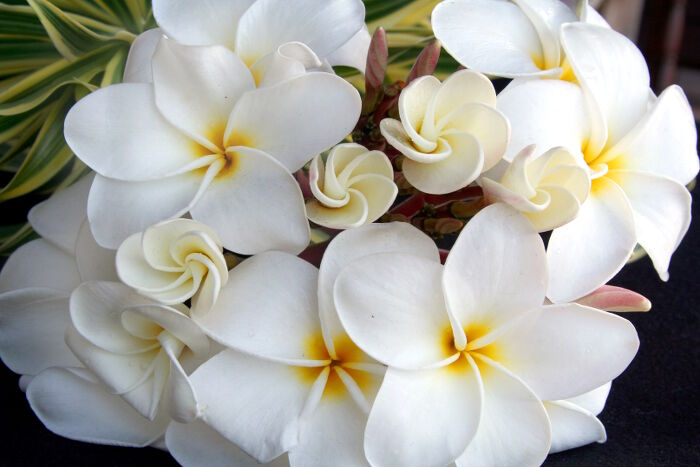 A plumeria branch forms a beautiful white bouquet of flowers.