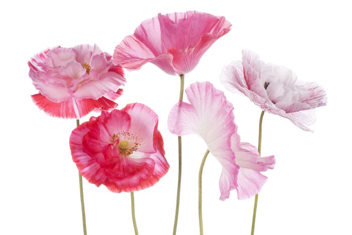 Flowers that Symbolize Peace - Flower Meaning