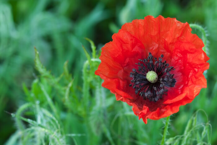 Poppy flower meaning flower meaning poppy flower mightylinksfo