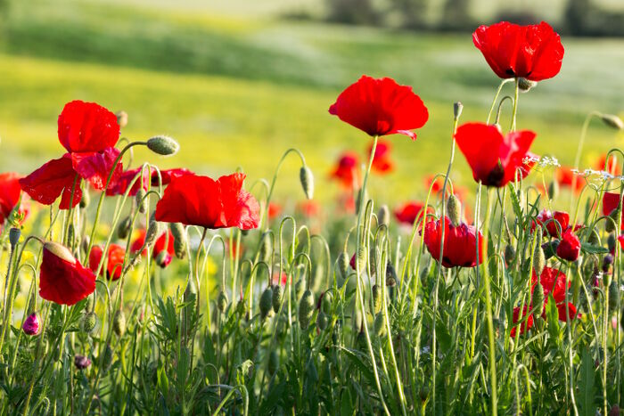 Poppy flower meaning flower meaning poppy flower mightylinksfo Image collections