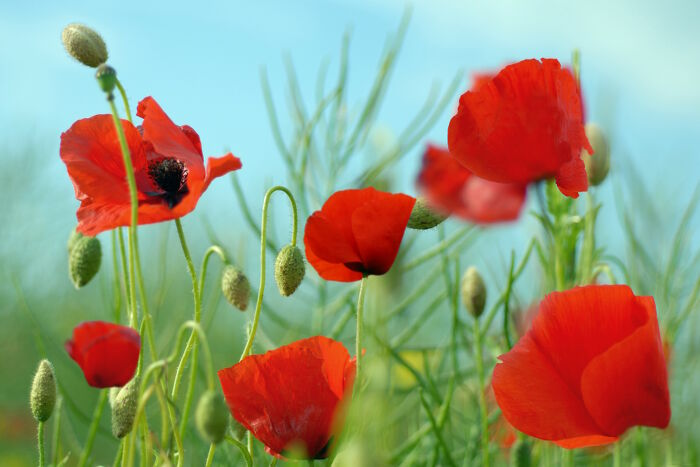 Poppy Flower Meaning Flower Meaning