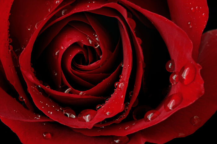 """5683094d19 The rose is one of the most famous and beloved of all flowers. As William  Shakespeare once wrote """"What s in a name  That which we call a rose by any  other ..."""