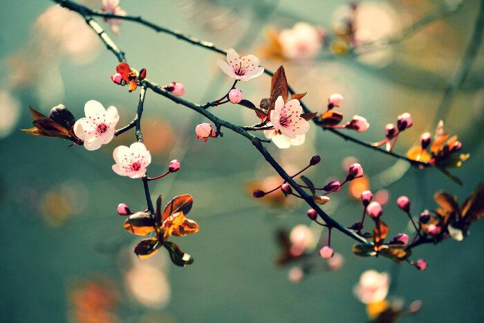 Sakura Flower Meaning Flower Meaning