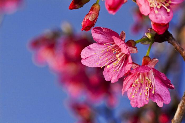Sakura flower meaning flower meaning sakura flowers mightylinksfo