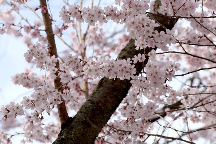 Ini Dia Jadwal Mekarnya Bunga Sakura Di Jepang 2017