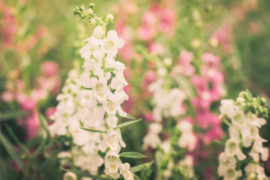 Snapdragon flowers