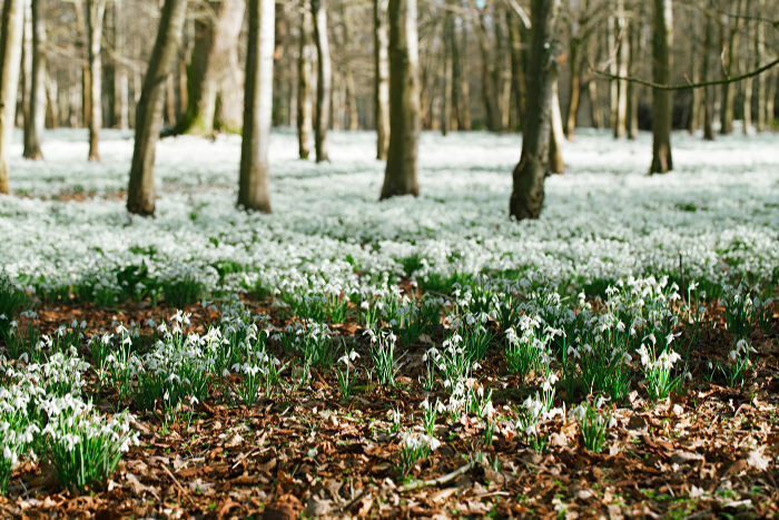 snowdrop flower meaning  flower meaning, Natural flower