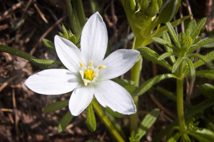 star of bethlehem flower meaning  flower meaning, Natural flower