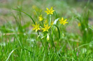 Star-of-Bethlehem flower