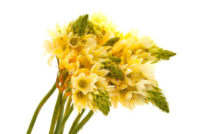 Star of Bethlehem Flowers