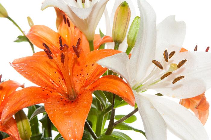 Stargazer Flower Meaning