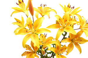 Stargazer Flower