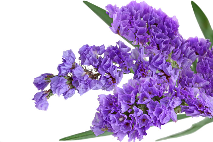 This Airy Flower Is Often Used As A Filler If Mixed Bouquets It Typically Purple Or
