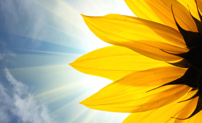 Sunflower Meaning