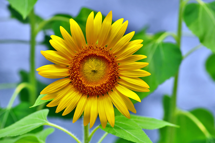 sunflower meaning  flower meaning, Natural flower