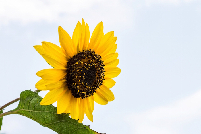 Sunflower Meaning - Flower Meaning