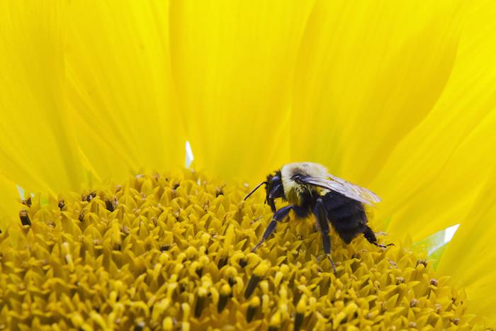 Sunflower meaning flower meaning sunflower mightylinksfo