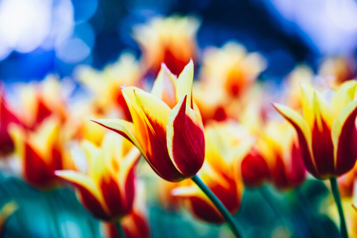 Tulip flower meaning flower meaning yellow and red flowers tulips in spring garden flower bed mightylinksfo