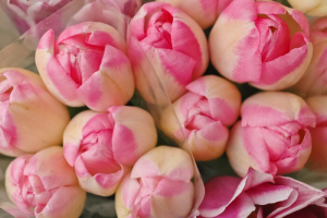 Bunch Of Pink Spring Tulips blooming for Easter and Valentine's day