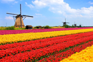 Vibrant tulips fields with windmills in the background, Netherlands
