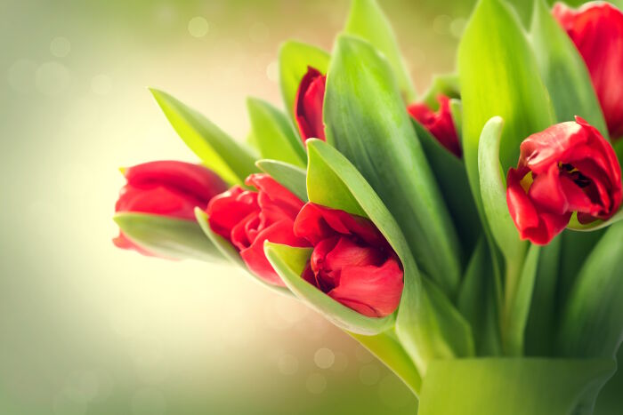 Tulip-Color-Meaning