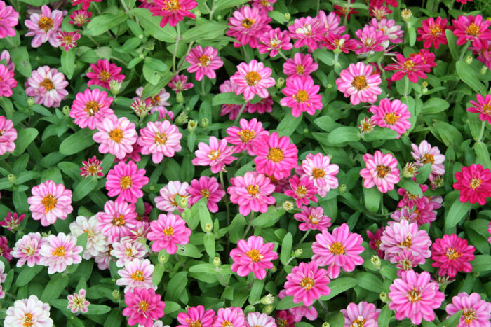 zinnia flower meaning  flower meaning, Natural flower
