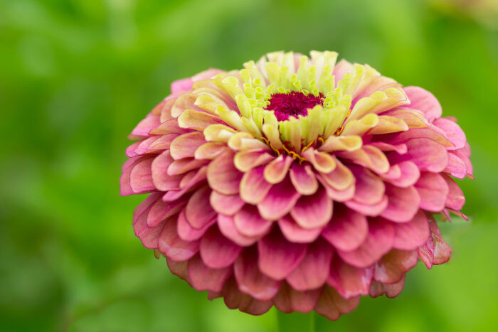Zinnia Flower Meaning Flower Meaning