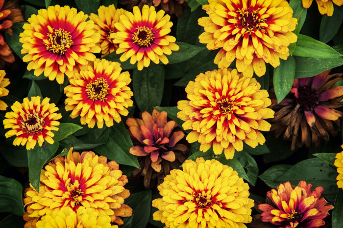 Zinnia Flower Meaning - Flower Meaning