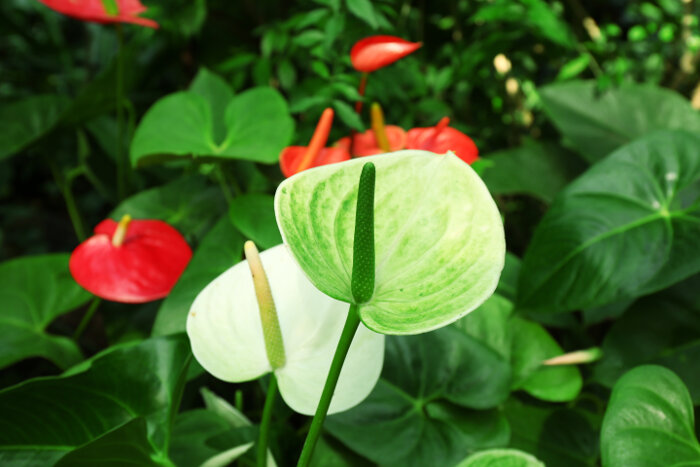 anthurium flower meaning  flower meaning, Natural flower