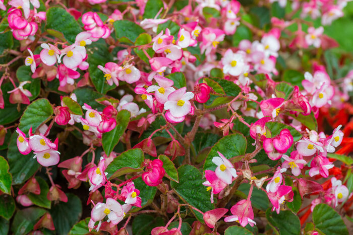 begonia flower meaning  flower meaning, Natural flower