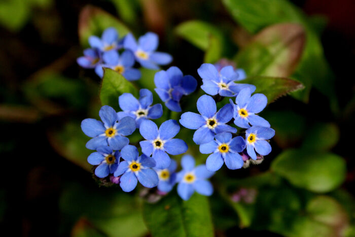 blue flowers meaning  flower meaning, Natural flower