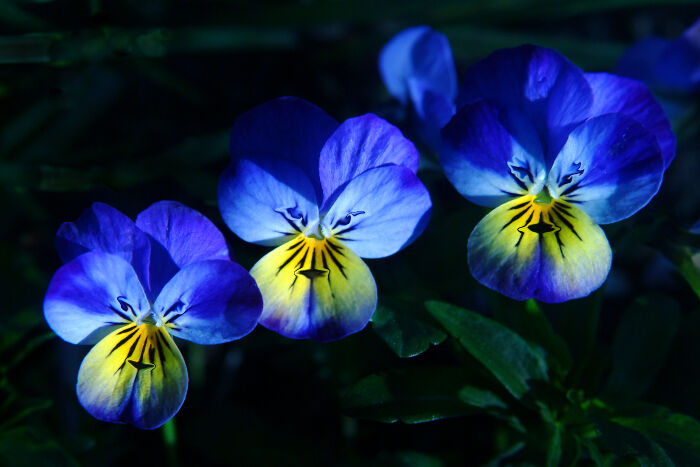 Blue flowers meaning flower meaning pansy mightylinksfo