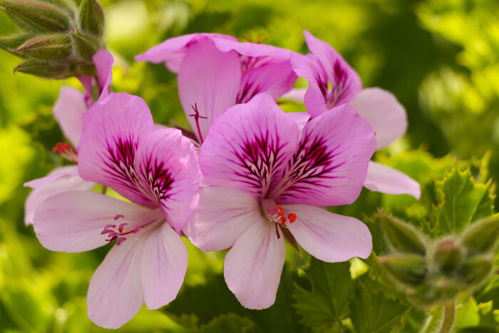 geranium flower meaning  flower meaning, Natural flower