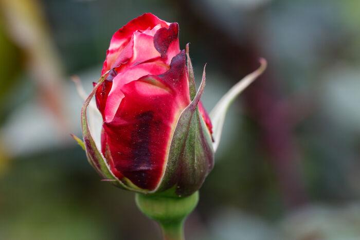June Birth Flower Flower Meaning