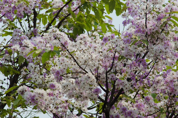 Myrtle Flower Meaning Flower Meaning