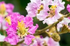Myrtle Flower