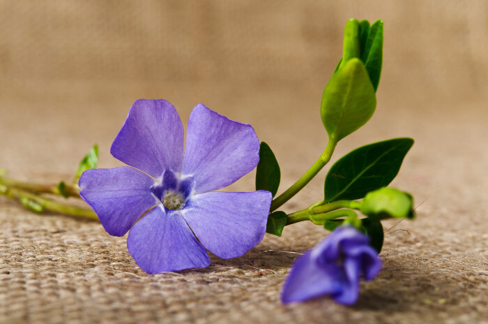 periwinkle flower meaning  flower meaning, Natural flower